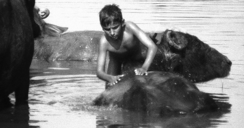 The Boy and his Buffalos